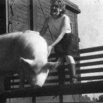 Для разнообразного питания раненых в поезде держали свиней